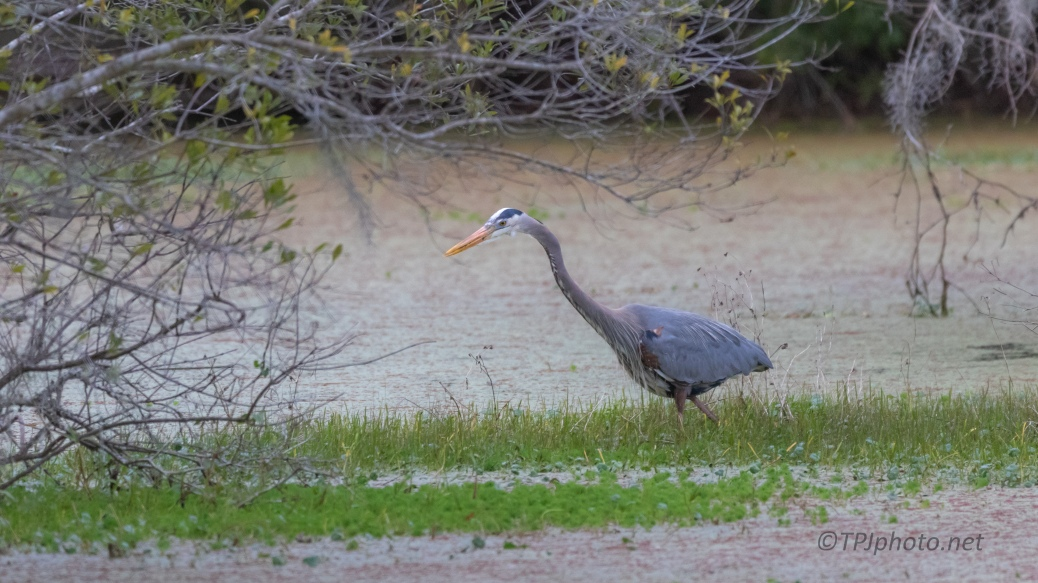 Hunting Close To The Rookery, Heron - click to enlarge