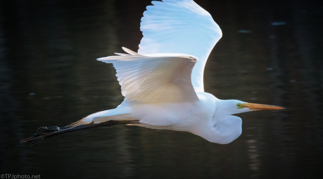 The Great Egret - click to enlarge