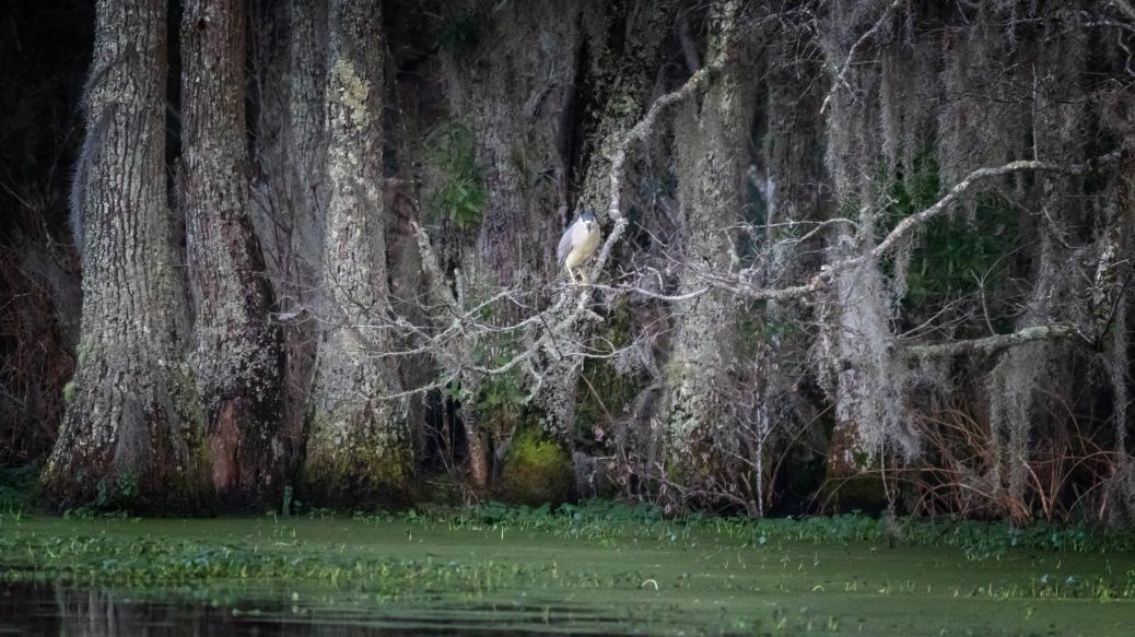 Night Heron, Last Night - click to enlarge