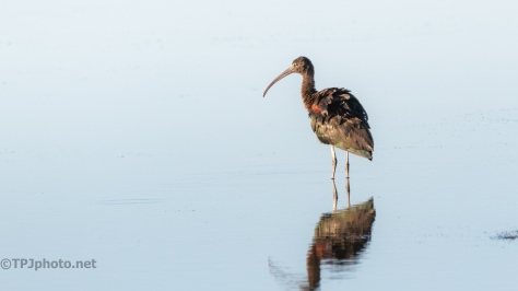 First Light Glossy Ibis - click to enlarge