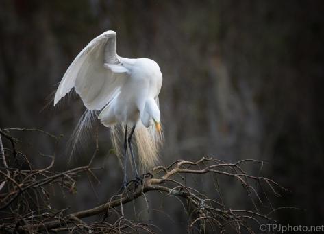 Great Egret Mating Dance Begins - click to enlarge