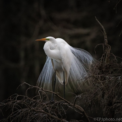 Single And Still looking, Egret - click to enlarge