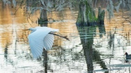 Great Egret Escape - click to enlarge