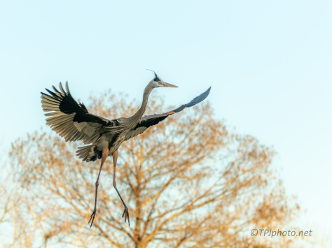Golden Hour, Heron - click to enlarge
