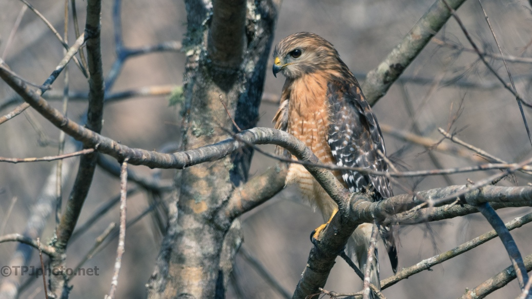 Hunting In A Swamp, Hawk - click to enlarge