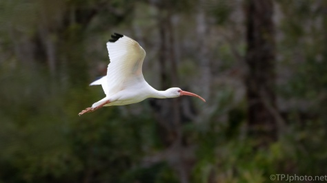 White Ibis Surprise - click to enlarge