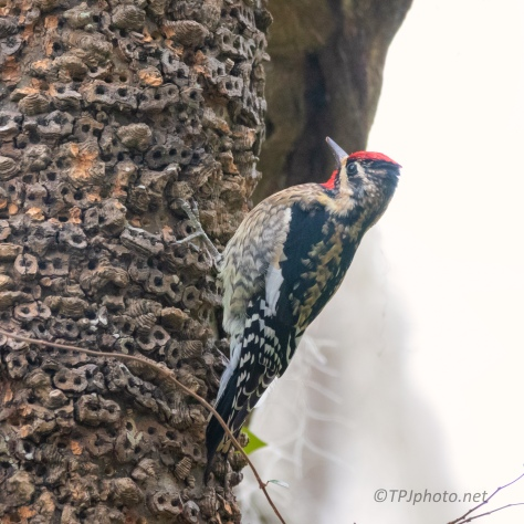Yellow-bellied Sapsucker - click to enlarge