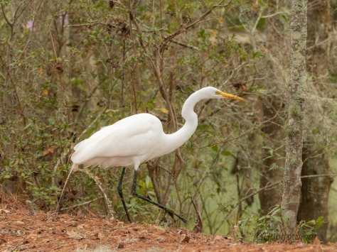 Wandering The Edge Of A Swamp, Egret - click to enlarge