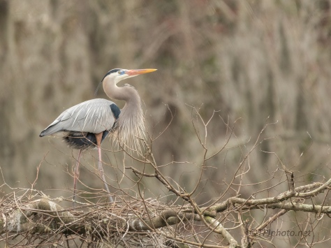 Getting Anxious, Great Blue Heron - click to enlarge