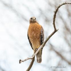 Established A Territory, Hawk - click to enlarge