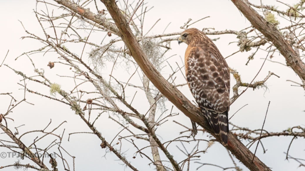 Watching Over A Wetlands, Hawk - click to enlarge