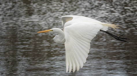 Great Egret Fly Through - click to enlarge