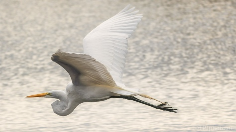 Egret Near The Bank - click to enlarge