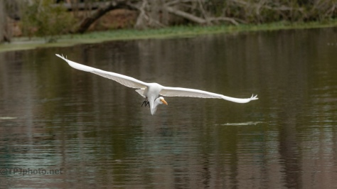 Coming Close, Great Egret - click to enlarge
