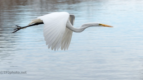 Low Through A Rookery, Great Egret - click to enlarge