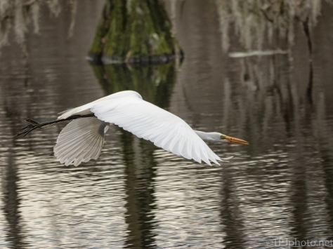 Egret Close Up Flight - click to enlarge