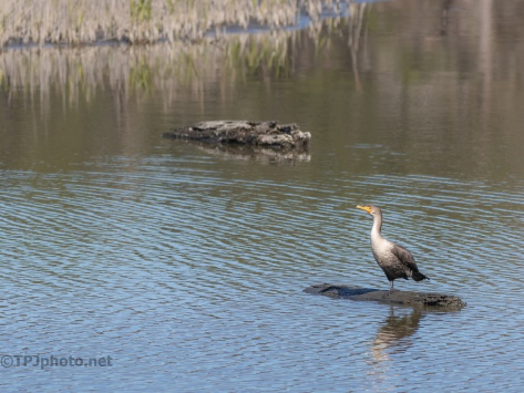 Cormorants In A Marsh - click to enlarge