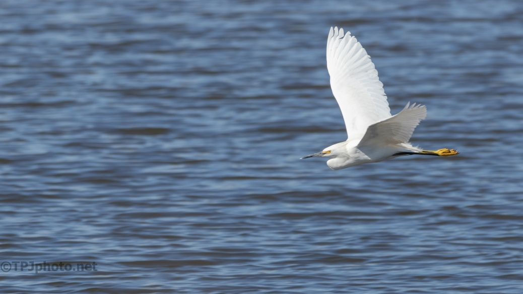Just because, Snowy Egret - click to enlarge