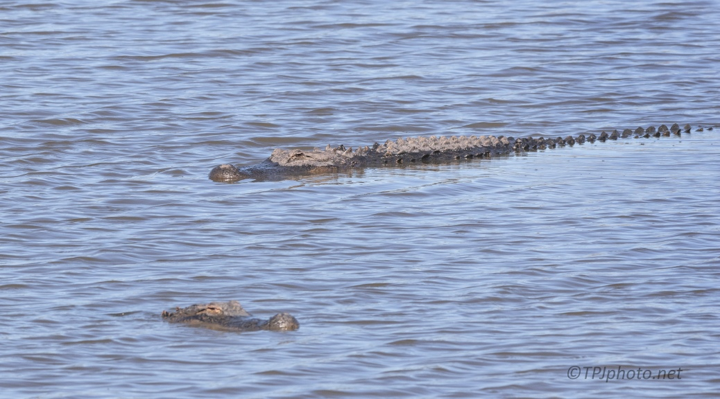 Collision Course, Alligator - click to enlarge