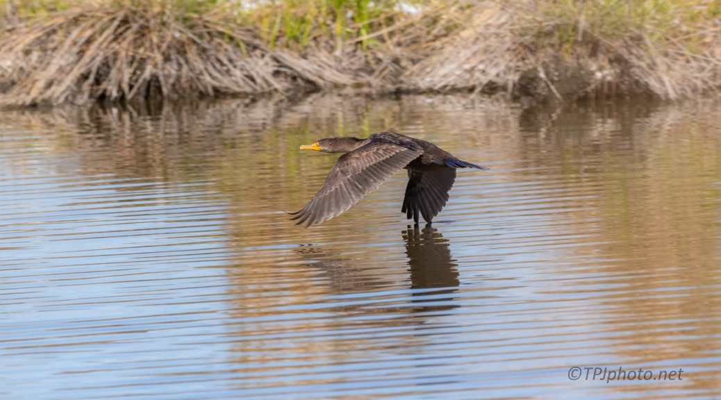 Double-crested Cormorant, In Flight - click to enlarge