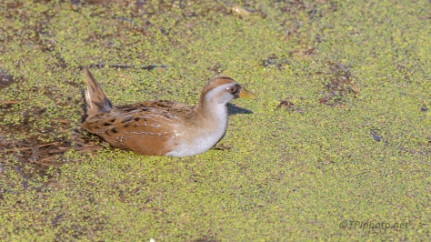 Sora, A Rail - click to enlarge