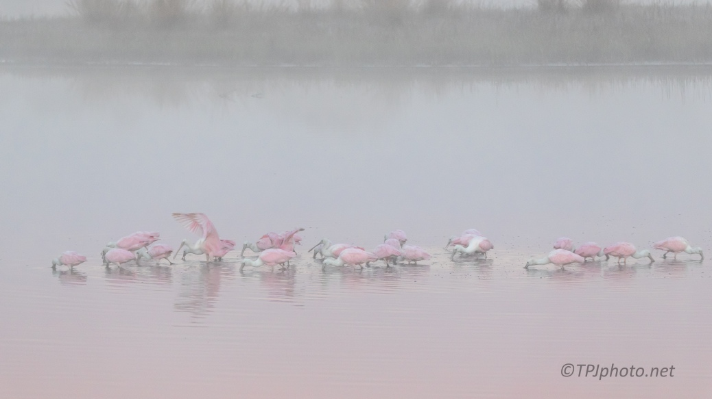 Foggy Spoonbills - click to enlarge