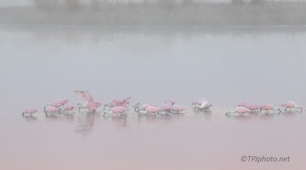 Foggy Spoonbills - click to enlarge