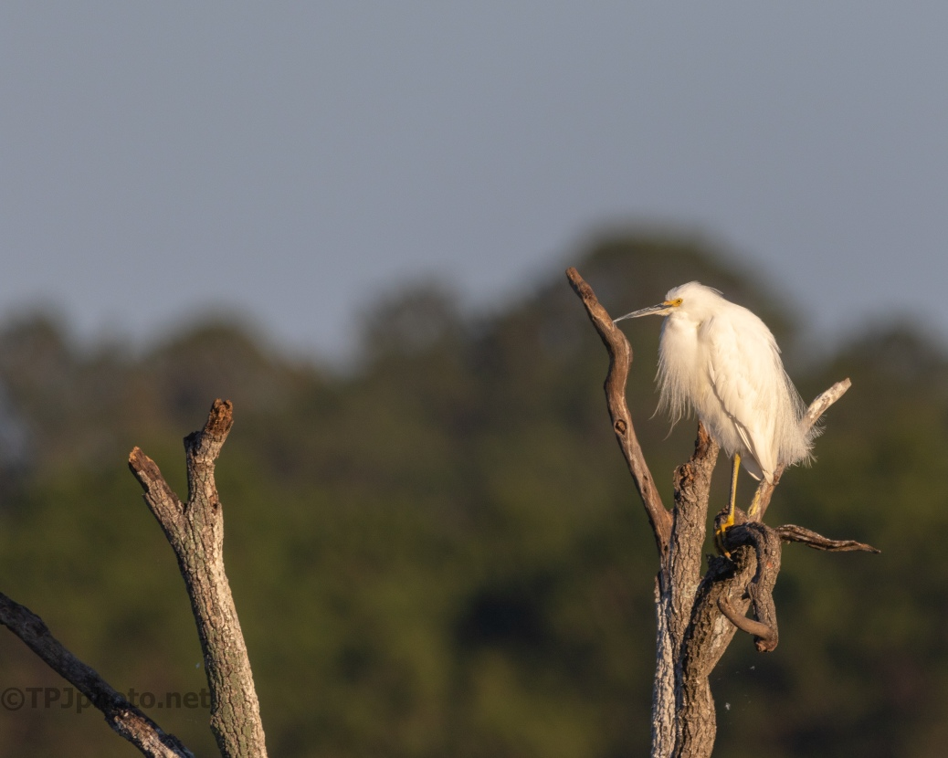 Snowy Egret, Not Making A Fuss - click to enlarge