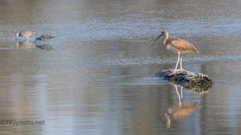 Young Ibis, Still Water - click to enlarge