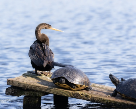 Took The Alligator Spot, Anhinga - click to enlarge