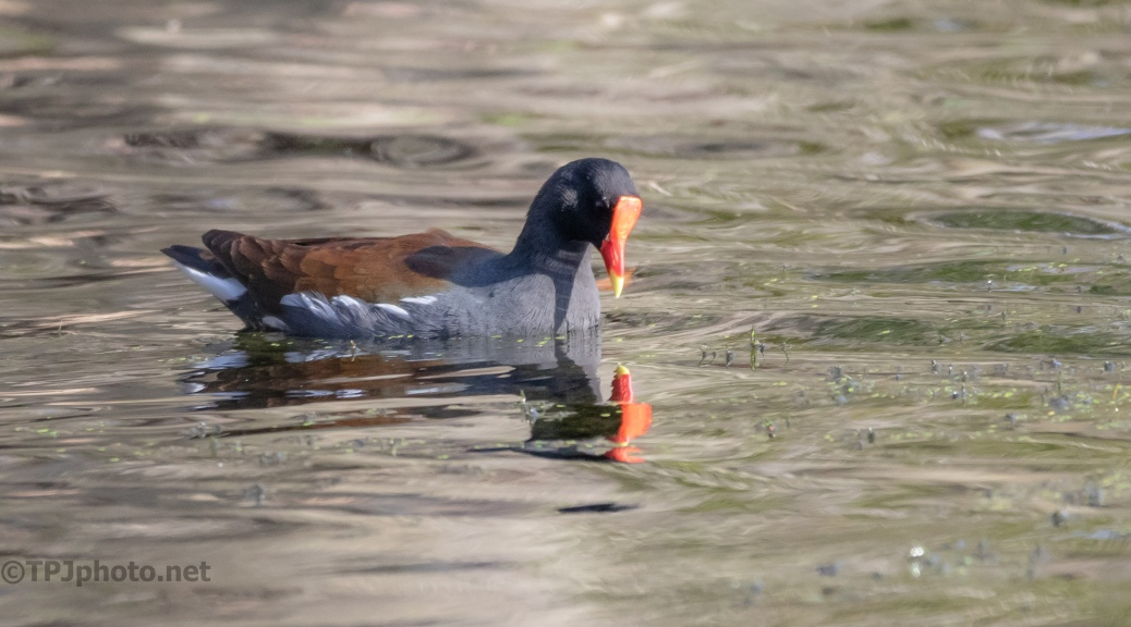 Close Gallinule - click to enlarge