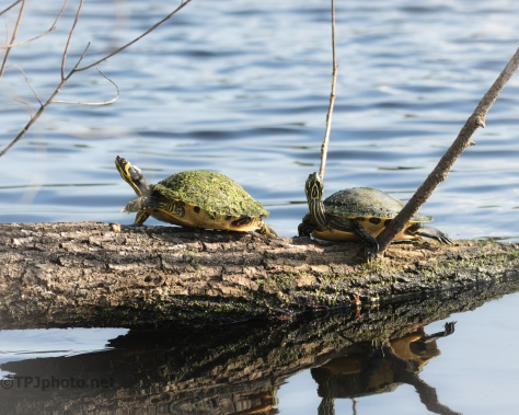 Yellow-bellied Sliders, Turtles - click to enlarge
