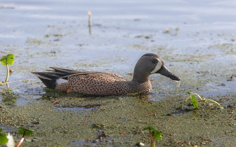 Blue-winged Teal - click to enlarge