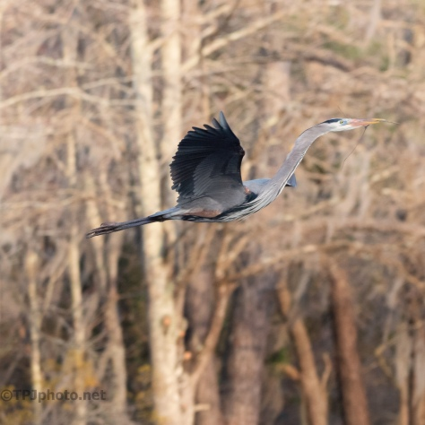 Gliding, Great Blue - click to enlarge