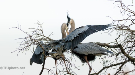 Great Blue Heron Greeting - click to enlarge