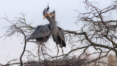 Snuggling, Heron Style - click to enlarge