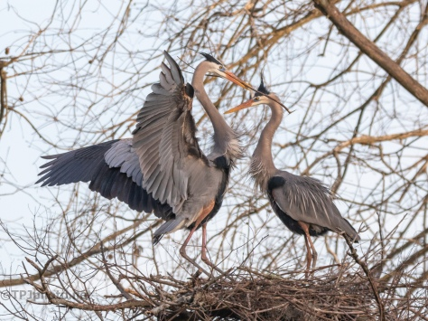 Return With A Stick, Herons - click to enlarge