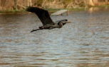 Sunset Fly By, Heron - click to enlarge