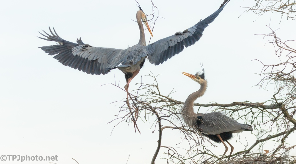 Slow But Sure, Herons - click to enlarge