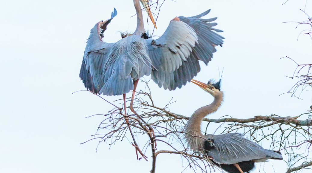 Mated Pair Of Great Blue Herons - click to enlarge