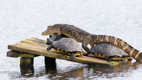 Out Of My Way, Alligator - click to enlarge
