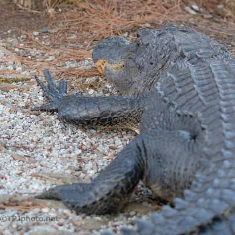 Prime Location, Alligator - click to enlarge