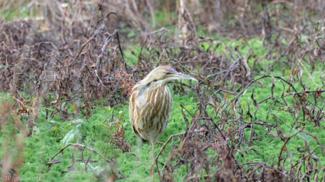 American Bittern - click to enlarge