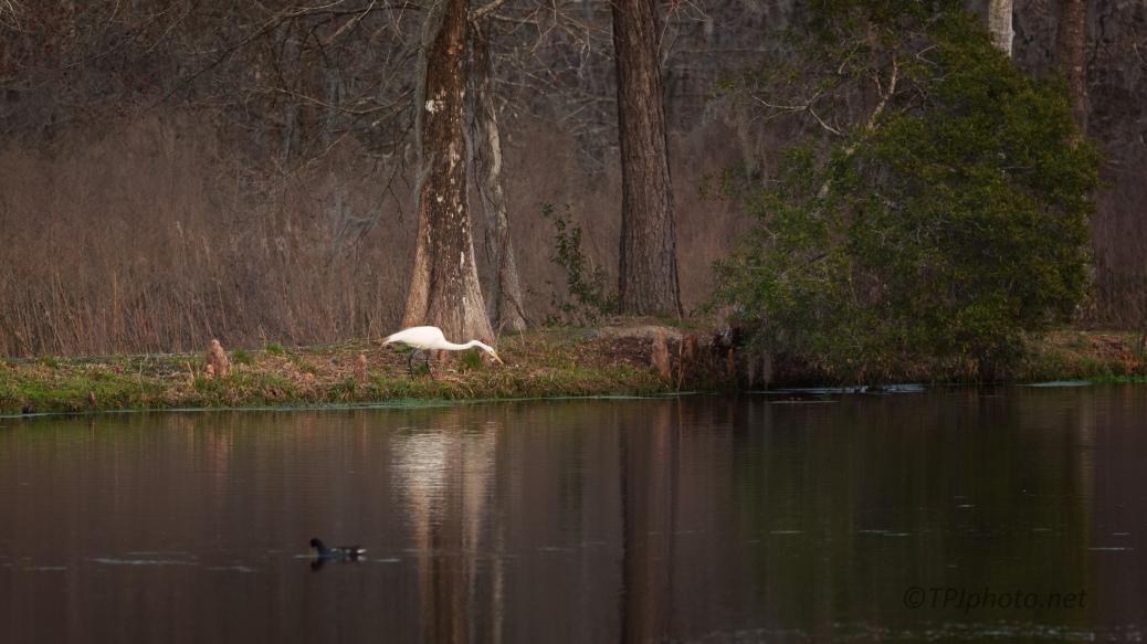 Swamp Scene, Great Egret - click to enlarge