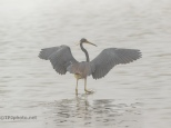 In Heavy Fog, Tricolored Heron - click to enlarge