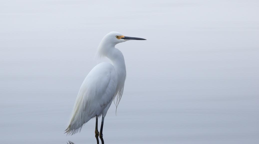 Snowy Egret, Color, In Fog - click to enlarge
