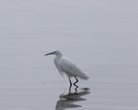 Snowy Egret, Fog - click to enlarge