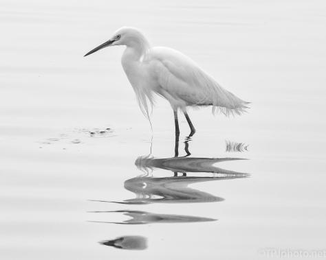 Snowy Egret, B&W, Fog - click to enlarge