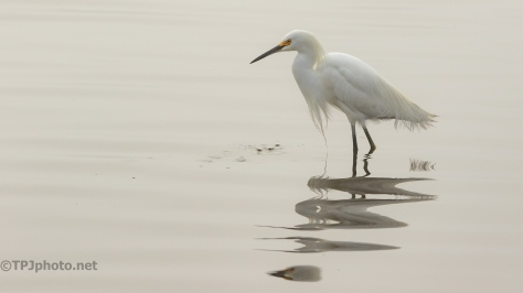 Snowy Egret Portrait - click to enlarge