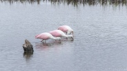 Roseate Spoonbills In A Marsh - click to enlarge